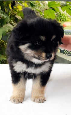 Have always loved Finnish Lapphunds... and here's our girl - she joins our family next weekend!!