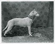 Pit Bull Dog Profile 8 x 10  Photograph from Antique 1900 Glass Negative