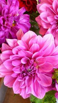 Bright Pink Dahlias