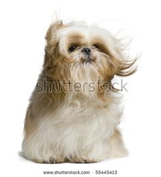 Shih Tzu, 18 months old, windswept and sitting against white background