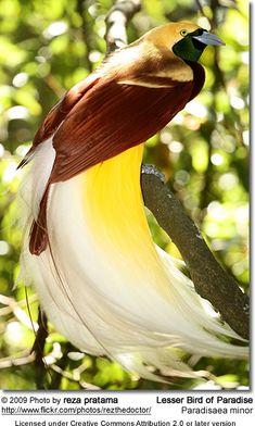 Lesser bird of paradise (looks pretty great to me)