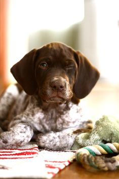 German shorthair pointer...these are so cute when they are puppies. But look out when they grow up!