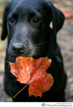 black lab in autumn