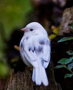 rare icy blue bird from Europe