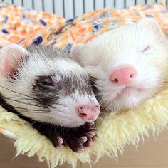 Sweet ferrets snuggle
