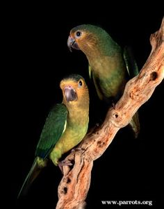 pictures of brown throated conures Parakeets, Parrots, Conure, Love Symbols, Beautiful Birds, Pet Birds, Wildlife, Pets, Brown