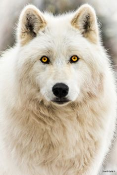 Female arctic wolf ~ Sharif Galal, MD. Look at her eyes! ~SheWolf★