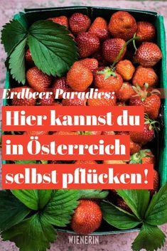 Das ultimative Erlebnis bei angenehmen Temperaturen: Erdbeeren pflücken! Lifehacks, Strawberry, Fruit, Health And Beauty, Household, Life, Life Cheats, Strawberries, Life Hacks