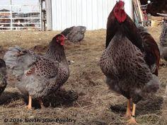 Blue Laced Red Wyandotte, Wyandotte Chicken, Beautiful, Color, Colour, Colors