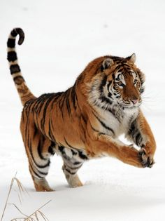 The Beauty of A Tiger!