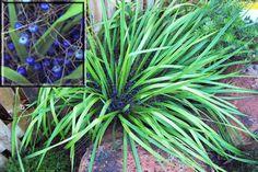 Local native - bush tucker Blue Flax Lily [Dianella brevipedunculata] Australian Native Garden, Native Australians, Wild Edibles, Grasses, Native Plants, Fruit Trees, Flower Photos, Garden Planning, Farm Life