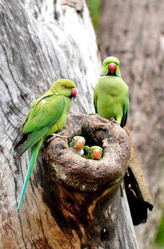 #nature  INDIAN ROSE _RINGED PARROTS Indian rose-ringed parakeet (Parrot) originates from the India and has feral and naturalized populations worldwide.The Rose-ringed Parakeet is considered one of the best talking parakeets and can learn a vocabulary of up to 250 words.