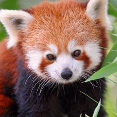 Red panda - A living Fossil Animals Beautiful, Cute Animals, Living Fossil, Animal Species, Red Panda, Fossils, Animal Kingdom, Dog Cat, Wildlife
