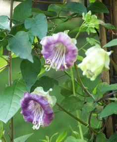 Klokkeranke - Cobaea scandens - Vekster - Blomster - Busker - Trær