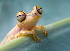 Happy treefrog  This Convict Treefrog (Hypsiboas calcaratus) looks as though it was happy.    2011 © Alejandro Arteaga