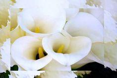 Il fiore di oggi: la Calla  www.fioreriasarmeola.com