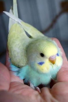 Rainbow baby budgies (crestbred). Whatever crestbred is.
