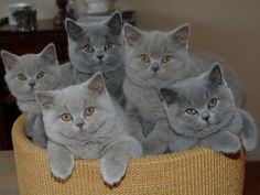 British Shorthair by heatheryingNL