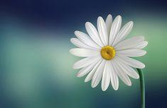 Free stock photo: Marguerite, Daisy, Beautiful - Free Image on ...
