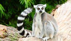 lemur Wallpapers, Images, Photos, Pictures & Pics #lemur #wallpapers