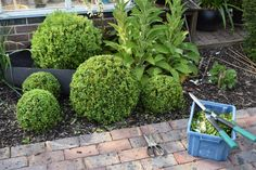 ▲ The box balls in front have just been clipped, but the large one at the rear waits its turn. For good results you will need really sharp shears, one-handed shears or garden scissors for detail an…