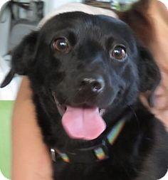 St Petersburg, FL - Cocker Spaniel/Corgi Mix. Meet Marilyn!  21 lbs of Delight!, a dog for adoption. http://www.adoptapet.com/pet/13295433-st-petersburg-florida-cocker-spaniel-mix