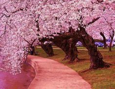 Walk among the Cherry Blossoms.