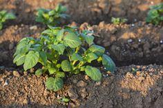 Kartoffeln düngen – So machen Sie es richtig