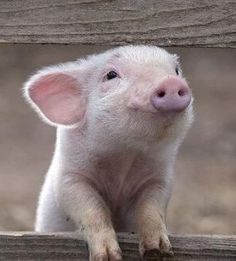 THIS LITTLE PORKER SAID: \OINK - OINK - OINK\ ALL THE WAY HOME..................ccp