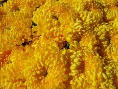 ifim: Crizanteme, florile toamnei
