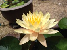 Large size yellow water lily