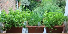 Chives, mint and parsley - growing quite happily on a north facing windowsill, further shaded by the side wall.
