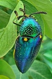 stag beetle (Platycerus caraboides)