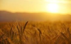 sunrise over wheat field - Pesquisa Google