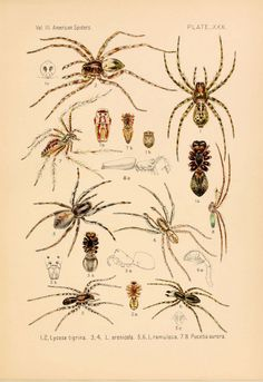 American spiders and their spinningwork - My list of the most beautiful animals Nature Illustration, Botanical Illustration, Types Of Spiders, Animal Plates, Spider Art, Halloween Labels, Insect Art, Most Beautiful Animals, Nature Images