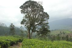 The serenity of Tea country.  Campion Tea Estate, Bogawantalawa. Sri Lanka. (Gail  Fernando)
