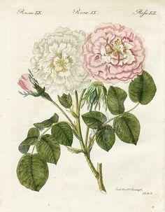 Rosa gemella by F. J. Bertuch