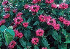 Bee balm (Bergamot, Oswego tea)  perennial, full sun, 2-4 feet tall, blooms til late summer