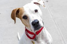 Arianna is an adoptable Pit Bull Terrier Dog in New York, NY If you're interested in adopting please call our Adoptions department at (212) 876-7700, ext. 4 ... ...Read more about me on @Petfinder.com.com