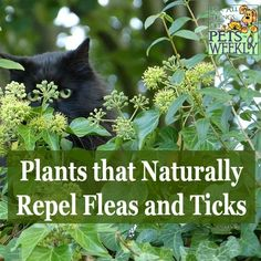 There are many plants that naturally repel insects and are safe for pets. Do you have them in your garden?