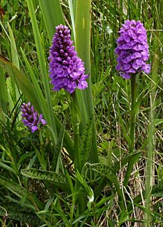 Dactylorhiza maculata (Orchis masculata)