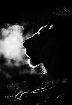 *Lion - Night Time Predator