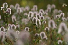 Hazepootjes in tegenlicht Fotograaf: huubverbeek Hier kun je mooi zien waarom dit plantje hazepootje wordt genoemd.Het behoort tot de vlinderbloemigen. In tegenlicht komt het het mooist uit de verf. Nederlandse naam: hazepootje