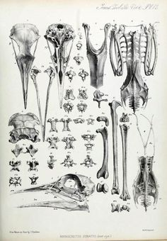New bird skull anatomy art ideas Skull Anatomy, Anatomy Art, Anatomy Drawing, Drawing Drawing, Bird Bones, Skull And Bones, Science Illustration, Bird Illustration, Atelier D Art