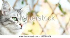 silver cat of siberian race - new on #Shutterstock