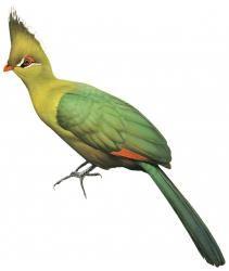Livingstone's Turaco (Tauraco livingstonii)