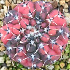 Gymnocalycium bodenbenderianum f.variegata ボーデンベンデリアナムの班です。 少し派手な感じですが独特な班色で美しいギムノカリキウム