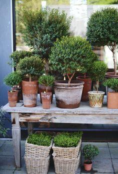Gorgeous array of topiary in terracotta pots Container Plants, Container Gardening, Gardening Tips, Garden Cottage, Garden Pots, Potted Garden, Garden Basket, Topiary Garden, Pot Jardin