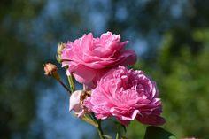Louise Odlier – lähempää | Vesan viherpiperryskuvat – puutarha kukkii