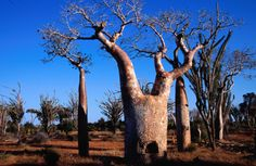 Didiera madagascaris forest with spiny octopus trees and squat baobabs.